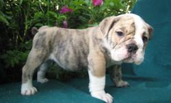 Well trained English bulldog puppy for new home My family and I will be relocating to a new apartment in a couple of days and the new apartment does not allow us to have pets and we want to get rid of our English bulldog Puppy  before moving in to