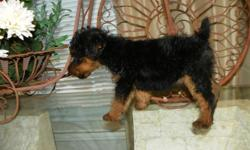 Birthday for Welsh puppy is May 12, 2010. Fun loving, great with children and smart as can be. Trust these puppies to do your bidding with a wagging tail, must see to appreciate these wonderful terriers, expected adult weight is 15 to 20 pounds, beautiful