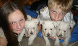 we have 2 beautiful west highland terrier f/pups left. they are hypoallergenic and does not shed, great for kids w/asthma and gets along very well w/children or anyone.