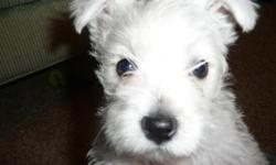 WESTIE PUPPIES AKC. Good breeding, pre loved, very social!!! Born 10/18/10. 1 Male $700.00, 1 Female $800.00 to approved homes only! Call 503-910-1419 for more information.