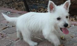 2 male, 1 female westies, 10 weeks old. Fantastic personalities. Beginning housebreaking. 1st shots done, dew claws removed. Parents on site. Great with kids and other animals, very smart, loyal, non shedding dog! Only serious, forever homes. Well