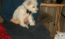 CKC Reg West Highland Terriers (Westies) S/W Solid White 2 Months Old All Males Left. Adorable and Smart. Great With Children. Call 336-725-8348 or 336-725-8348+