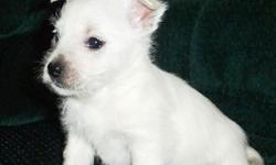 West Highland White Terrier Pups 2 Girls, 1 Boy. They are very tiny & fluffy & light .They are 12 weeks old, they have had their injection. They are pedigree and have all papers. their mum & dad are both tiny (miniature). They will be let go with both
