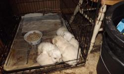 Westie Puppies ready 12/15/12 Males and females 1st shots and wormed $300each We also understand finances are tight so we do consider some trade such as guns, atvs, harley davidson motorcycle (can be wrecked and need not run), cars, etc............Please
