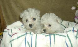 white mom is a maltese and dad a westie have there shots and worming up to date, very playful and have been started with potty training 1 female left