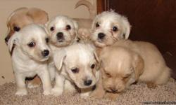 Westie/Cavalier pups ready for new home. 2 males and 2 females of varying blonde colors. Born into home with kids and the mom and dad onsite. Great with kids just need a good home. Asking $250-300. Call with questions or make an appt to meet your new
