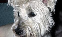 Male (neuter) Westie found 12/23 in the Clear Branch Estates area on Highway 75 in Blountville. He was wearing a black collar with silver paw prints on it, no tag. Very sweet and shy dog. Email for more info: stovebolt_six@hotmail.com.