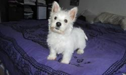 Spunky, friendly little westie pup! I have just one boy, he is 9 weeks old, ACA registered, he has had his first shots and worming and he comes with a written health guarantee. This little guy is a typical westie, he loves to explore and play and he has a