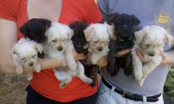 westie/yorkie mix, mom is pure westie, dad pure yorkie. 3 boys left, 2 are blond, look like the westie, 1 is brendle, more yorkie like. 225 each. Will be 7-10 pounds, lovable lap dogs, don't shed, and good with kids. Ready to go, born July 11. You can