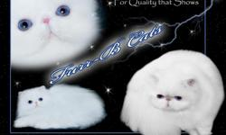"""For Top Quality Blue Eyed White Kittens from Top Winning Bloodlines, contact Barbara at Furrbcats.com for """"QUALITY THAT SHOWS!"""" We ship world wide."""