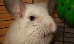 White female Chinchilla for adoption; she comes with her large cage. She loves time out of her cage to run around. Older kids are fine, small children frighten her. Email for more info.