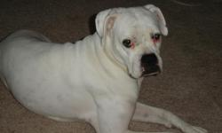 Found white female boxer in Kansas City, Missouri. She appears to have been well cared for.