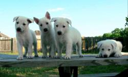 Looking for a pal for life? You've come to right place! Adorable German Shepherd puppies for sale. They were born on May 21, 2011. Very smart and playful puppies. They love to cuddle and give lots of love. They are not just wonderful company, but also a