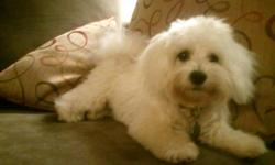 Mix of Maltese/Bichon (both parents are fullbred with papers). Born Nov 2010. Price will include first set of shots. Very affectionate and good with children.