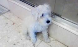 Beatifull rare color Male schnauzer pure breed AKC and up to date shoots, great with kids gentle and inteligent very adaptable to change wont shade. small but very sturdy not toyish great pet for the family, for more information please feel free to call