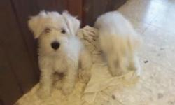 Male schnauzer with shots AKC Rester a beastiful rare color inteligent very adaptable to suronding. Very inteligent and trainable small but not toyish a very sturdy pet. if you have any questions plese feel free to call at 202-326-3553 or 202-326-3553