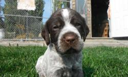 Wirehaired Griffons are close hunting dogs, loyal, and a hardy upland game dog that can handle the rough weather we sometimes get in the Spokane area. Of course we also wanted a loving family dog! The Wirehaired Pointing Griffon combined these qualities