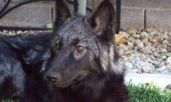 Black female wolf, she is not spayed, will be 2 the end of March, she is good with kids and other dogs, had her since she was 4weeks old. she is a wonderful animal, shy at first then very playful loves attention. email me if interested hillent@cox.net