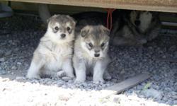 Beautiful malamute / wolf puppies, 3 males 200.00. Pahrump 775 537-0227 or cell 775 910-1626