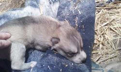 I have 2 litters of wolf hybrid puppies. The father is 96% Timberwolf and the mom is 98% Arctic Wolf. I have males and females. They will have the wormings done and first set of shots. The father and mother are both very gentle and loving. Reserve your