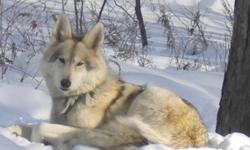 High Content North American Timber/Tundra/Shephard - friendly, social, intelligent, highly trainable prices vary $300. - $650. whites, black, & silvers available now