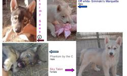 See our website just put Paradise Wolves in your search bar. 4 Cubs available DOB: 6/20/10 They do howl. Registered and comes with a health contract (not a breeders contract) and new puppy package. Ground shipping is available (customer pays all costs).