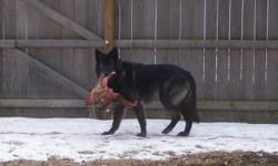 Upper mid-content wolf puppies. Born on 5-18-11. Parents are pictured. Father has the 1/2 deer carcass. He is 140-150 lbs. Mother is 110-115 lbs. These will be large, beautiful animals. Please compare before you buy! Call or e-mail.