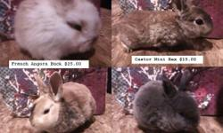 Hello, I have the following baby rabbits for sale: . 8 Lilac&Blue Mini Rex. There's a pic of a lilac in the pic below. A blue is just a hair darker, they can be pedigreed. $25.00 each with a pedigree,$15.00 without. These guys will make great show rabbits