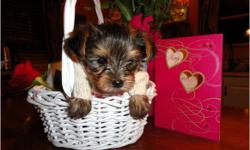 We have Tiny T-Cup Yorkie puppies available, Males and females available, They are AKC reg, vet checked, up to date on all shots and will come with a 1 year health guarantee, These puppies are very friendly with kids and other animals.