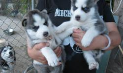 X-mas Male and female siberianhusky puppies ready for any loving and caring home. They are upto date on all their shots. They have very good personality with kids and other pet. They will come along with all their papers.they have all health papers and