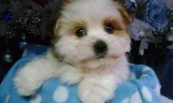 Very gentle and loving little bugs.Non Shedding Maltese/Poodle mix. males and females available.Friendly,gentle,Loving and loyal. Very playful,healthy,socialized.Up to date on Shots,Dewormed,come with a written health guarantee.Please call for more info