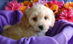 CavaChon is a Designer mix between a Cavalier King Charles Spaniel/Bichon Fise Mix.They are known for they mild,playful and loving temperament.They are wonderful with children. Very playful,healthy,socialized.Up to date on Shots,Dewormed,come with a