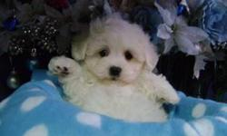 Very gentle and loving little bugs.Non Shedding Maltese/Poodle mix. males and females available.Friendly,gentle,Loving and loyal. Very playful,healthy,socialized.Up to date on Shots,Dewormed,come with a written health guarantee.Please call for our store