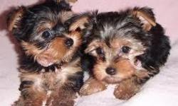 Hello sorry for the late reply we have a male and a female teacup yorkie puppies for adoption to any good home where are you located and how soon do you want the dog and would you love to see pictures? thanks and waiting to read fro you soonest.