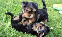 We presently have just two Yorkie puppies presently ARC registered we need only serious and willing families to contact please if interested then send us a text(only) to our number directly() -