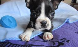 Super sweet boston terrier puppies, ACA registered, 10 weeks old, all shots and worming up to date and they come with a health guarantee. These pups are very sweet and friendly, they love kids and play great with other dogs. They are Xsmall and will only