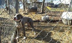view pics on www.monsterpits.weebly.com adba registered $300 o.b.o blue brindle female good with kids/dogs don't attack chickens utd on shots and wormings house broke CALL 606 309 0601 DO NOT TEXT OR EMAIL