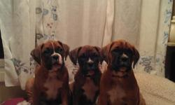 Puppies were born on October 11th. They have been kept with their mother for at least eight weeks to ensure good temperment and bite inhibition. Tails docked and dew claws removed. Two boys and one girl. One boy is a brindle with black mask and the