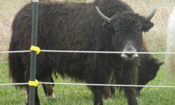 Yak Heifer, Black (gray nose) 2 years old. Possibly bred to Royal Bull. She is a Nice addition to any herd ! Willing to trade for a good Cattle Chute.