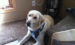 Looking to breed my five year old AKC certified yellow lab. His name is Studmuffin. Looking to breed him with another AKC certified lab.