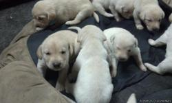 Yellow Lab pups. Born Sept 19th. Dew claws removed. First shots and wormer given 10/31/12. Not registered.