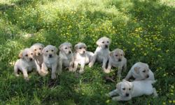 **ONLY ONE MALE LEFT - GET YOURS BEFORE THEY ARE GONE** Eleven weeks old and ready to go to your home, AKC registered Yellow Lab puppies. Located near Mountain Grove, Missouri. $150. Only ONE (1) awesome male puppy left for adoption. Call today to ensure