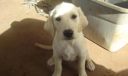 Beautiful Yellow 1/2 Labrador and 1/2 Golden Retriever Puppy. 1st and 2nd shot and vet check-ups done. Female 13 weeks old. No papers, but Father and Mother are on site. Any ? call Jeremy #728-4541. Price $1000.00