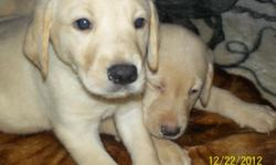 AKC YELLOW LABRADOR PUPPIES READY FOR NEW HOMES DECEMBER A GREAT ADDITION TO YOUR FAMILY LOVING AND GREAT DISPOSITION THE PUPPIES ARE OF THE ENGLISH LINE AND DEW CLAWS HAVE BEEN REMOVED MOTHER AND FATHER ON SITE QUESTIONS CALL THERESA AT --