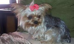 Beautiful female yorkie 1 year old weight 2 and half pounds very sweet and playful up to date on shots serious callers please -