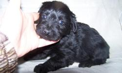 i have 1 male solid black yorki poo he is 10 weeks old and will be about 7lbs when full grown