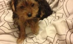 Very cute lovable Yorkie female puppy. We bought her for my father in law and his health took him to a nursing home. Sadly as we have two males that we also love we must sell her. This is a very hard situation to be in. Very