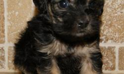 Yorkie-Poo puppies-Yorkie/Poodle. Very sweet, pre-spoiled puppies that loves to play. Mom is the Poodle and Dad is the Yorkshire Terrier. They are very, very cute, they love to play and are ready to go. They have been wormed had their First set of Shots.