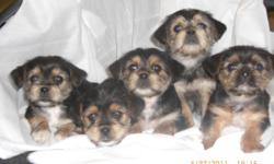 they have there shots . this is the lowest price you might find a yorkie to be .they are cute too