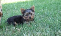 Yorkie AKC 12 Week Female Puppy. Vet check, shots, healthy, happy, very well socialized. Have both parent. Parent weights 4lbs. In the pictures it shows her posing, sleeping, and the last one she is wet because she love to play with her water. Best way to